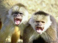 angry_monkeys2.jpg